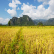 Rice field — Stock Photo #15767583