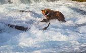 在阿拉斯加熊 — 图库照片
