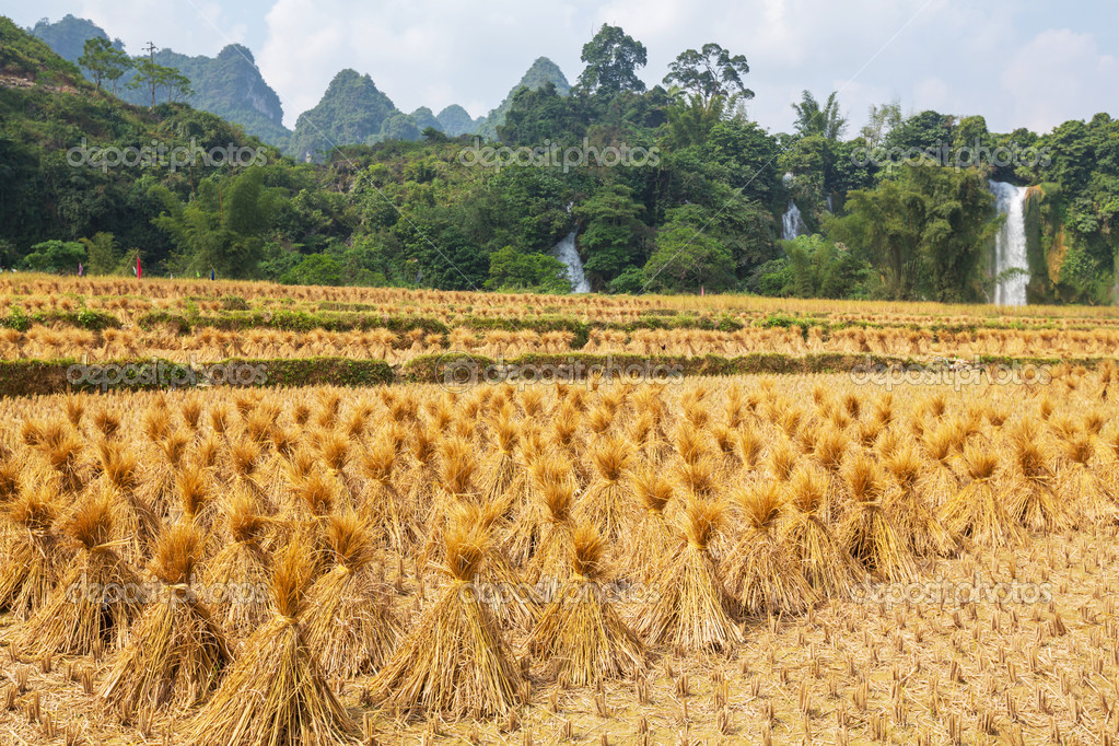 Field in Vietnam  Stock Photo #15897609