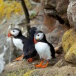 Puffin — Stock Photo #16342637