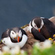 Puffin — Stock Photo #16342699