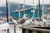 Sea gull — Photo