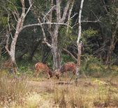 Spotty deer — Stock Photo