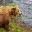Bear on Alaska — Lizenzfreies Foto