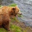 Bear on Alaska — Stock Photo #16900535