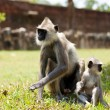 Monkey on Sri Lanka — Stock Photo