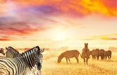 斑马 — 图库照片