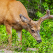 Stock Photo: Young Deer