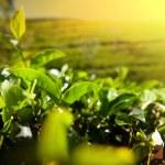 Tea plantation — Stock Photo #17416517