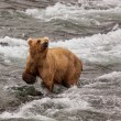 Bear on Alaska — Stock Photo #17416529