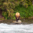 Bear on Alaska — Stock Photo #17631273