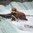 Bear on Alaska — Stock Photo #17631373