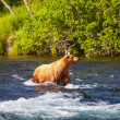 Bear on Alaska — Stock Photo #17687747