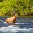 Bear on Alaska — Stock Photo #18011629