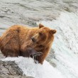 Bear on Alaska — Stock Photo #18107135