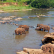 Elephants on Sri Lanka — Stock Photo #18831565