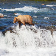 Bear on Alaska — Foto Stock