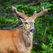 Wild Deer — Stock Photo #18947097