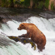 Bear on Alaska — Stock Photo
