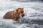 Bear on Alaska — Stock Photo