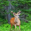 Wild Deer - Stock Photo