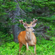 Wild Deer — Stock Photo #19180409