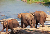 Elephants on Sri Lanka — Stock Photo