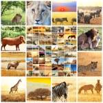 African safari — Stock Photo