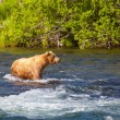Bear on Alaska — Stock Photo #19231479