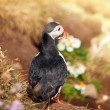 Puffin — Stock Photo #19231617