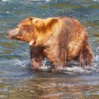 Bear on Alaska — Foto de Stock