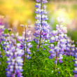 Stock Photo: Flowers on Alaska