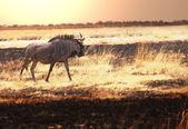 Antelope Gnu — Stock Photo