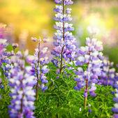 Blommor på alaska — Stockfoto