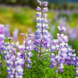 Meadow on Alaska — Stock Photo #19606809
