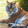 Royalty-Free Stock Photo: Tiger