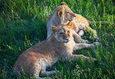 Lion — Foto de Stock