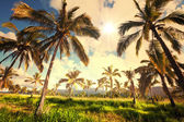 Palm plantation — Stock Photo