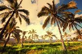 Palm plantation — Stock Photo