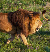 Lions in the nature — Stock Photo