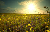 Sun-drenched field — Stock Photo