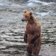 Stock Photo: Bear on Alaska