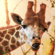 Stock Photo: Giraffe