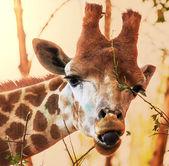 长颈鹿 — 图库照片
