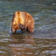 Bear on Alaska — Stockfoto #22155049