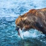在阿拉斯加熊 — 图库照片 #22155061