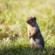Gopher — Stock Photo #22155141