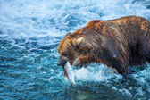 Medvěd na aljašce — Stock fotografie