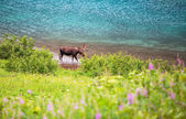 Wild Moose — Stock Photo