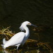 Egret — Stock Photo #24810629
